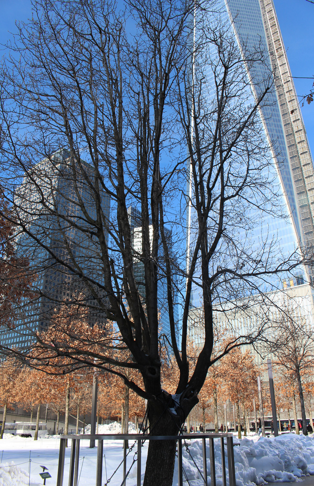 survived tree in ground zero