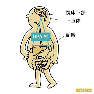 HPA軸(Hypothalamic-Pituitary-Adrenal Axis:視床下部-下垂体-副腎系)-しつこい疲れは副腎疲労が原因かも?回復の鍵となるホルモン「コルチゾール」-yumiid.com
