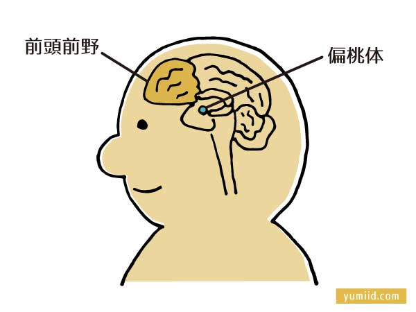 前頭前野と偏桃体-怒りの感情はどうコントロールしたらいい?イライラしたときの対処法-yumiid.com