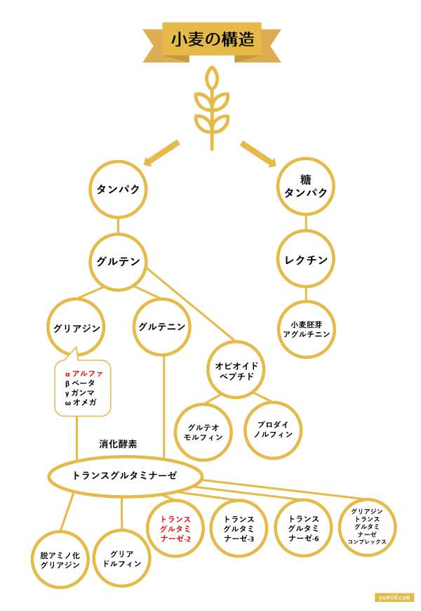 小麦の構造-グルテンフリーについて理解しよう-なぜ小麦粉は食べない方がいいの?-yumiid.com