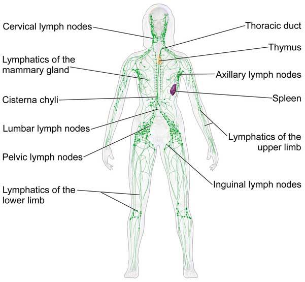 リンパ腺の仕組み