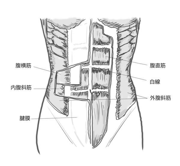 腹部の筋肉の構造 腹筋運動のやりすぎが尿もれの原因に?!腹筋トレーニング(クランチ)と骨盤底筋群、尿漏れの関係